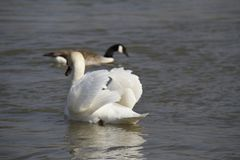 Молодой лебедь плавает спокойно на воде стоковые изображения rf
