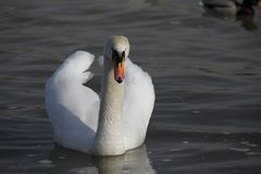 Молодой лебедь плавает спокойно на воде стоковая фотография rf