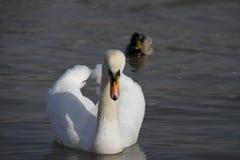 Молодой лебедь плавает спокойно на воде стоковое изображение