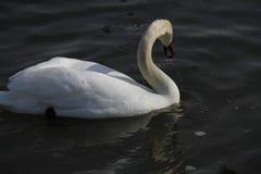 Молодой лебедь плавает спокойно на воде стоковое фото