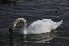 Молодой лебедь плавает спокойно на воде стоковые фото