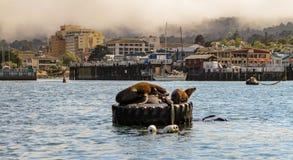 Морские львы греясь на зачаливании или томбуях отметки стоковая фотография rf