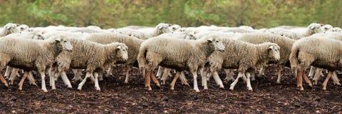 Намордник овец outdoors Стоящ и животное земледелия размножения вытаращиться панорамно стоковое фото