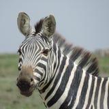 Национальный парк Serengeti зебры, Танзания стоковая фотография rf