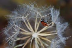 На большом круглом одуванчике вися перевернутый ladybug стоковые изображения rf