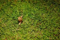 Небольшая любопытная улитка на зеленой траве стоковое фото