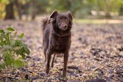 Небольшая меланхоличная краснокоричневая шавка собаки стоит на том основании на середине получившегося отказ парка стоковые изображения