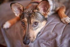 Небольшая меланхоличная коричневая принятая шавка собаки кладет на серую крышку дома и ожидания для владельца Собака в кровати стоковые изображения