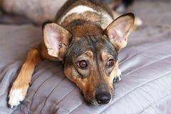 Небольшая меланхоличная коричневая принятая шавка собаки с умным взглядом кладет на серую крышку дома и ожидания для владельца Со стоковые изображения