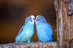 Небольшие яркие голубые птицы попугаев сидя на ветви дерева на запачканной предпосылке космоса экземпляра Держать концепцию любим стоковая фотография rf