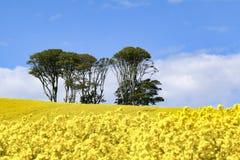 Небольшой комок деревьев в поле ярких желтых цветков napus капусты рапса стоковые фотографии rf