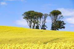 Небольшой комок деревьев в поле ярких желтых цветков napus капусты рапса стоковая фотография
