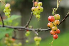 Незрелая красная смородина только начинает краснеть ранним летом на branche стоковые изображения