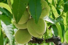Незрелые персики на ветви конца-вверх стоковое фото rf