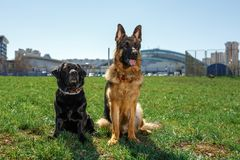 Немецкая овчарка и черный Лабрадор сидят и слушают к команде стоковое изображение rf