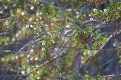 Немногое белые цветения на дереве Аризоны стоковые фото