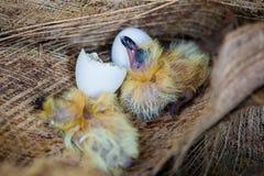 Немногое голубь в гнезде, птицы младенца как раз насиживая от яйца стоковое изображение