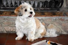 Немногое havanese щенок ждет кто-то для игры с ним стоковая фотография rf