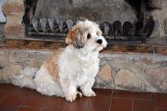Немногое havanese щенок ждет кто-то для игры с ним стоковая фотография