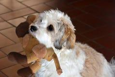 Немногое havanese щенок ждет кто-то для игры с ним стоковое изображение