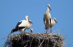 Несколько аистов стоя в гнезде против неба стоковые фотографии rf