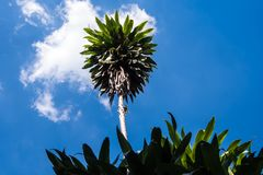 Низкая выгодная позиция к листьям завода Dracaena, смотря до небо стоковое фото