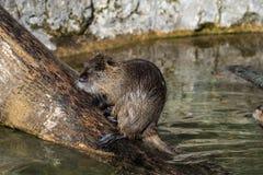 Нутрия, нутрии Myocastor, также известные как крыса или nutria реки стоковая фотография rf