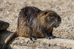 Нутрия, нутрии Myocastor, также известные как крыса или nutria реки стоковые изображения rf