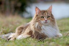 Норвежский кот леса женский на луге стоковые изображения