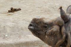 Носорог и экскремент стоковое изображение rf