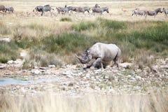Носорог с 2 бивнями в национальном парке Etosha, конце Намибии вверх, сафари в Южная Африка в засушливом сезоне стоковые изображения