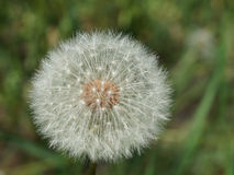 �д�ван�ик dandelion Stock Photos