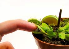 Палец во рте ловушки мухы Венеры стоковые фотографии rf