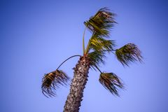 Пальма развевая в ветре перед штормом на сумраке стоковая фотография rf