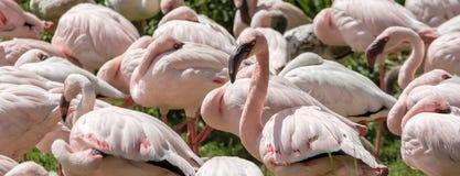 Панорама с фламинго стоковое фото rf