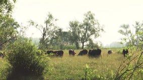 Пасут табун коров на зеленом луге среди деревьев на солнечный летний день сток-видео