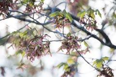 Пастельный пинк и зеленый цвет Ветви дерева клена весной стоковые фотографии rf