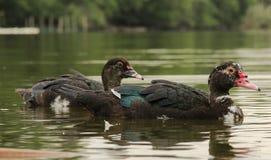 Пара уточек плавают по озеру в деревне.. Stock Photo