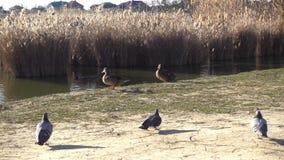 Пара lat уток кряквы Platyrhynchos Anas идут вдоль озера видеоматериал