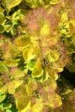 Парик-дерево ранг золотое coggygria Scop Cotinus духа Золотой дух Справочная информация стоковое изображение rf