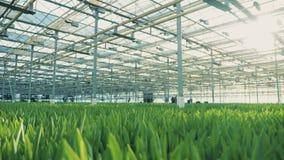 Парник с расти unbudded тюльпаны сток-видео