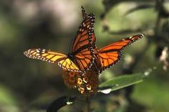 Пары бабочки сидя на цветке стоковое изображение