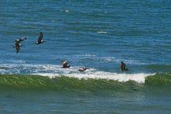 Пеликаны летают над прибоем стоковые изображения rf