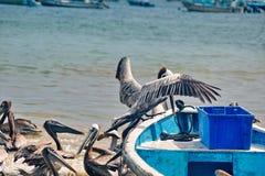 Пеликаны приземляясь на шлюпку стоковая фотография