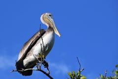 Пеликан в болотистых низменностях Флориды стоковое фото rf