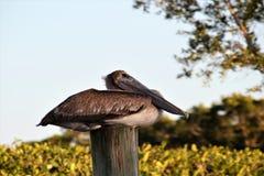 Пеликан в болотистых низменностях Флориды стоковые изображения rf