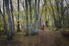 Пеший туризм в лесе бука стоковая фотография rf