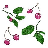 Fresh pink cherry berries and leaves. Hand drawn vector illustration. stock illustration