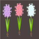 Hyacinth. Pink. blue, violet spring flowers, green leaves on black background. Flat design element stock vector illustration for web, for print