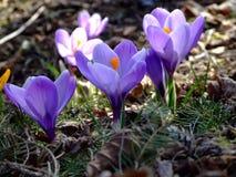 Первые весенние цветы: фиолетовые крокусы royalty free stock image